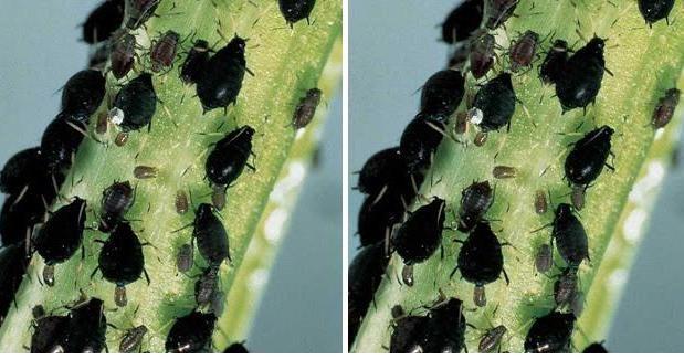 Repelente casero para controlar pulgones en las plantas