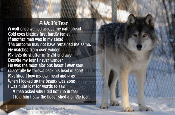 Picture No. 13  Poem - A Wolf's Tear