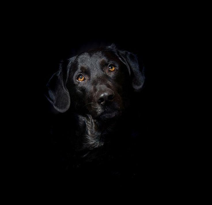 래브라도, 하이브리드, 믹스, 개, 동물, 애완 동물, 검정, 머리, 검은 개, 모피