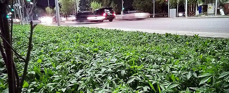 The main boulevards in Kazakhstan's capitol of Astana are covered with cannabis. In addition, thousands of acres of wild weed sprout annually in the Central Asia nation's Chu Valley.