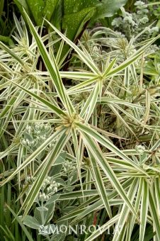 Monrovia's Sparkler Sedge details and information. Learn more about Monrovia plants and best practices for best possible plant performance.