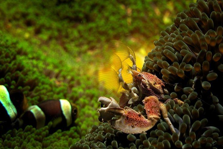 Porcelain Crab . Critters @ Celebes Divers