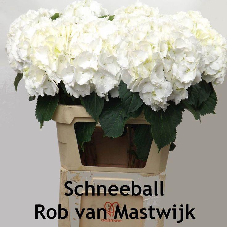 Rob van Mastwijk top kwaliteit snijhortensia (hydrangea)