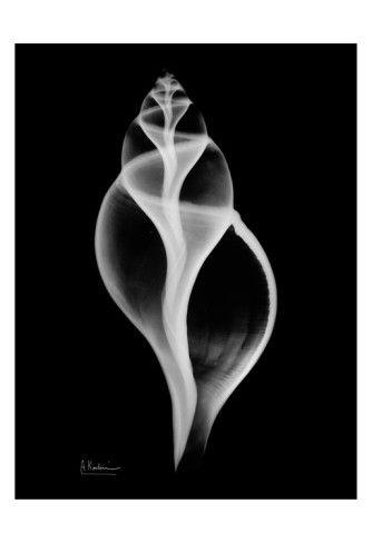 Tulip Shell • Albert Koetsier More Pins Like This At FOSTERGINGER @ Pinterest