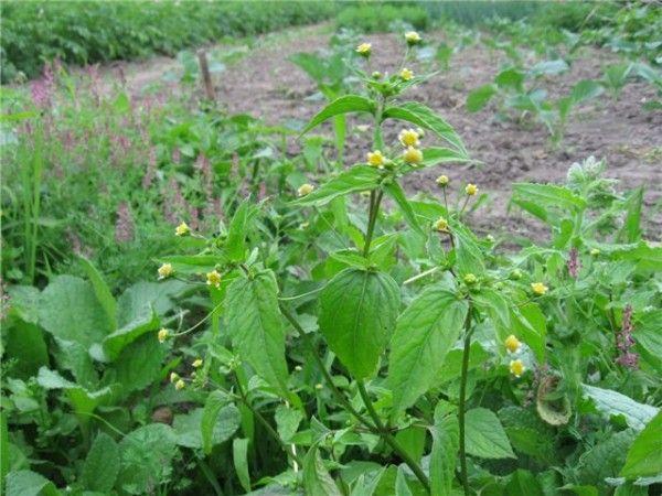 Не так давно Ирина moyugolok задала мне вопрос: а можно не полоть сорняки? Говорят же, что они защищают растения от засухи и вообще полезны. Много лет я стараюсь вести…