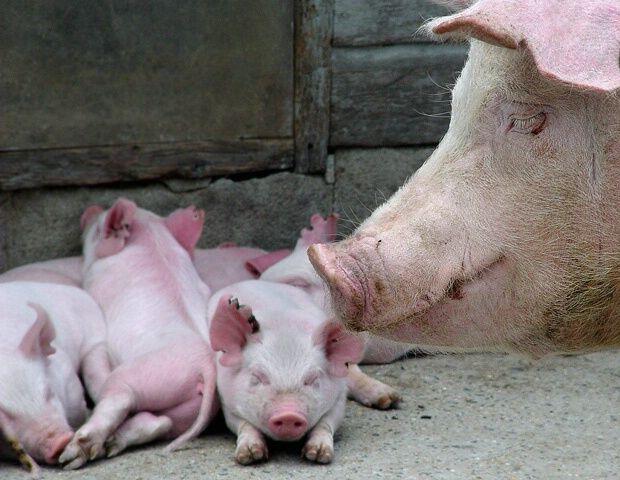 Family Portrait. #pig #photography #animal: Photography Animal, Animal Families, Country Life, Pig Photography