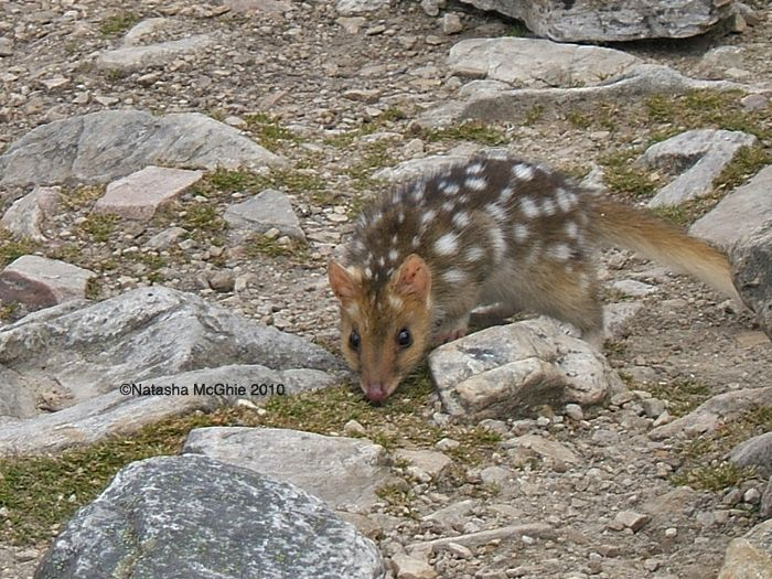 Eastern Quoll by TypicalTash