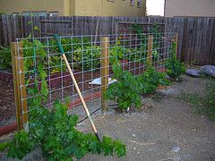 Cattle panel grape trellis...note to self, check CL for cattle panel