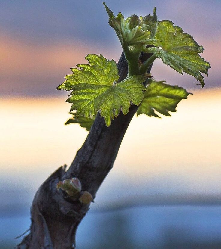 The smallest of wonders amaze me in the vineyard.  The fact that the pace of cell division in the shoots and leaves and tendrils is so fast that scientists breed disease free vines 'in vitro' as the cell division moves faster than the diseases can travel
