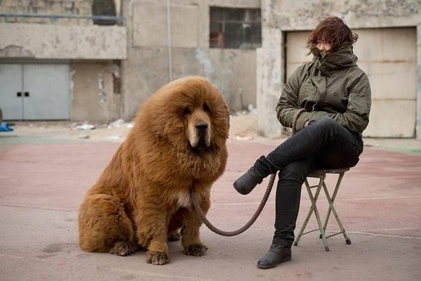 This Tibetan Mastiff dog sold for 1.5 Million. Where do people get that kind of money?