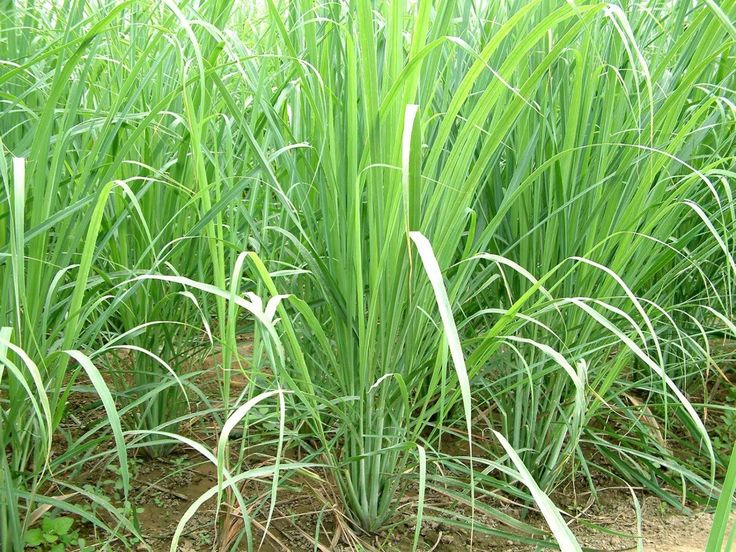 HERB SEEDS,Lemon Grass Seeds - Cymbopogon Flexuosus ,Caribbean fever grass, Perennial !