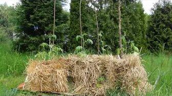 Permakultura. Uprawa ziemniaków w kostkach słomy - YouTube