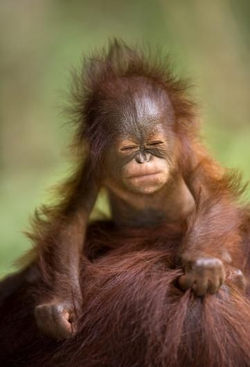 A young orangutan scrunches up its face. This image was highly commended in Wildlife Photographer of the Year, 2009. - © Brian W Matthews