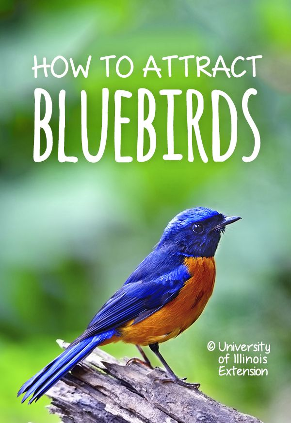 How to Attract Bluebirds #garden #yard #bird