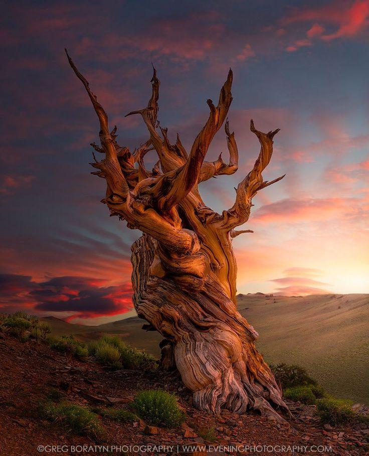 Ancient bristlecone (California) by Greg Boratyn on 500px