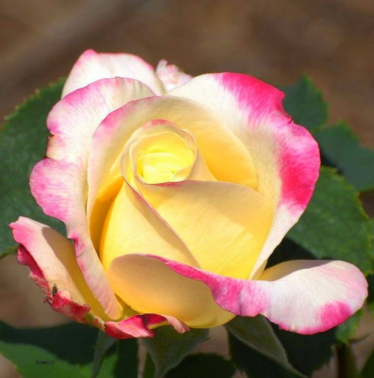 PinkYellow Roses ~ Rose Fans - Red Roses, White Roses, Pink Roses, Black Roses
