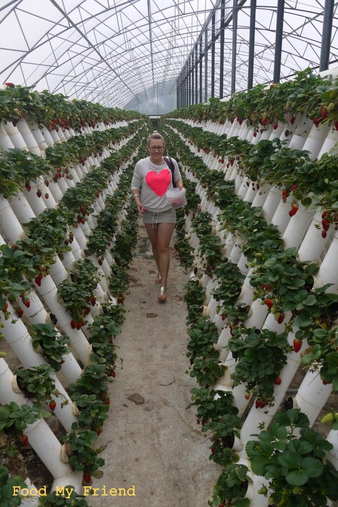 Great way to grow strawberries: hydroponics.