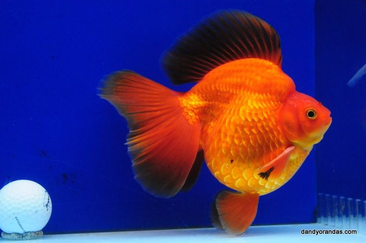 Les 25 meilleures id es de la cat gorie poisson rouge for Recherche poisson rouge