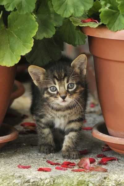 I love this photo because it has a kitten and geraniums.