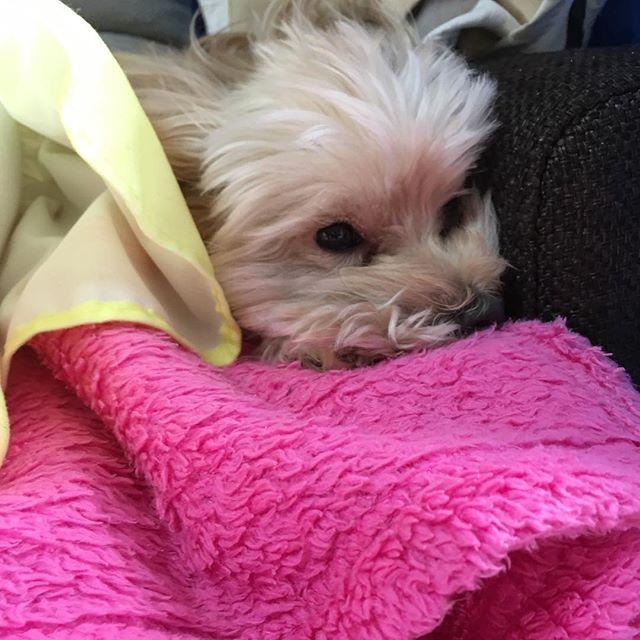 目のあたりだけカットしたけど もうそこら中モッサモサ。 トリミングいかないと〜〜 なぜこんなにも風呂上がり トリミングの後、もさもさの時 別人なのか・・・ 違う子みたいになるの びっくりするぐらい・・・ #愛犬 #マルプー #ペット#大好き#家族 #モサモサ #モサ犬#かわいい