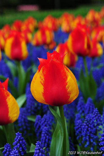 Bicolored red and yellow tulips - Keukenhof Gardens, Netherlands. Gorgeous. So pretty with the blue.