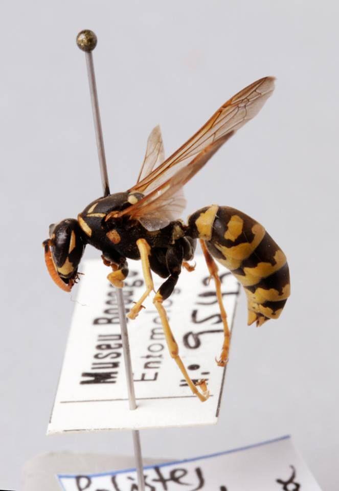 Vespa-do-papel-europeia (Polistes dominula), da coleção de insetos do Museu Nacional de História Natural e da Ciência. Da ordem Hymenoptera, família Vespidae.