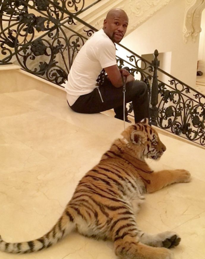 "Last week boxer Floyd Mayweather shared a photo on social media of ""a rare and exotic tiger from India"" he said he had received as a gift."