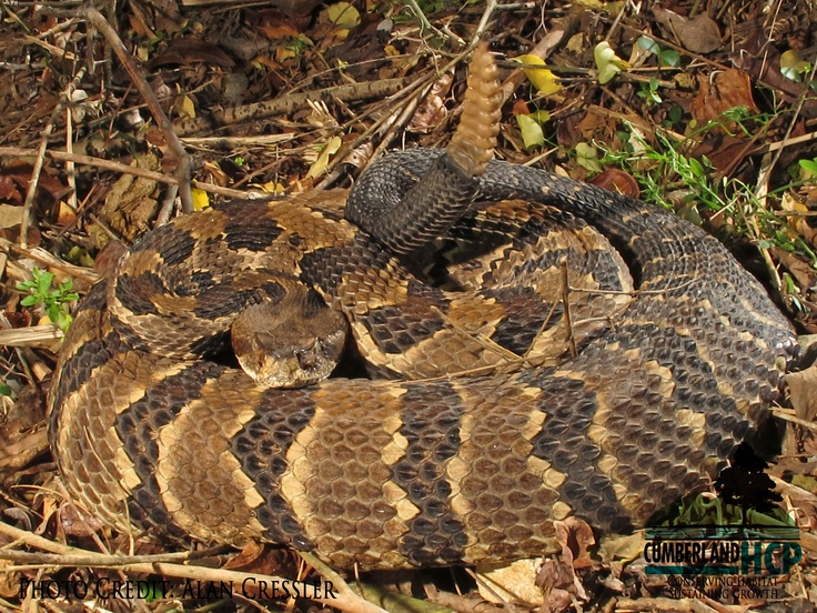 17 Best images about rattle snakes on Pinterest   Pit viper, Great ...