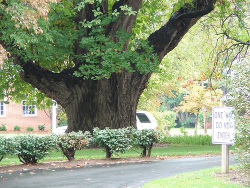 The world's largest sassafras tree is located on Frederica St. in Owensboro, KY