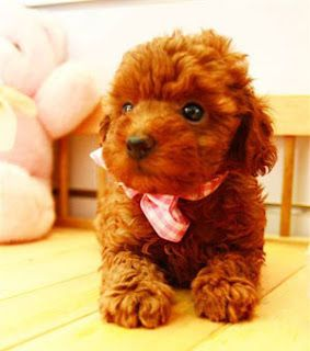 Also a tea cup poodle.. I shall name him Mufasa