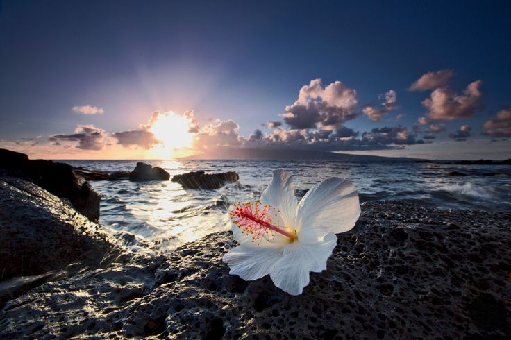 Lava rocks with the white hibiscus