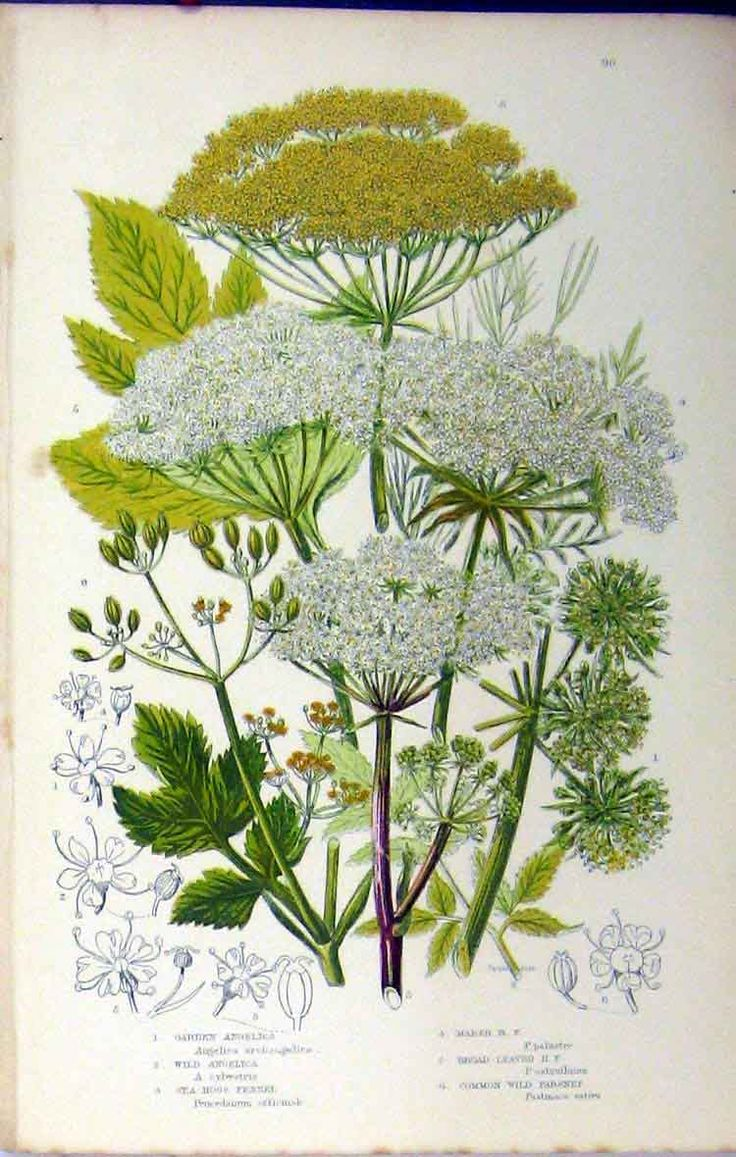 angelica fennel, 1880 - anne pratt
