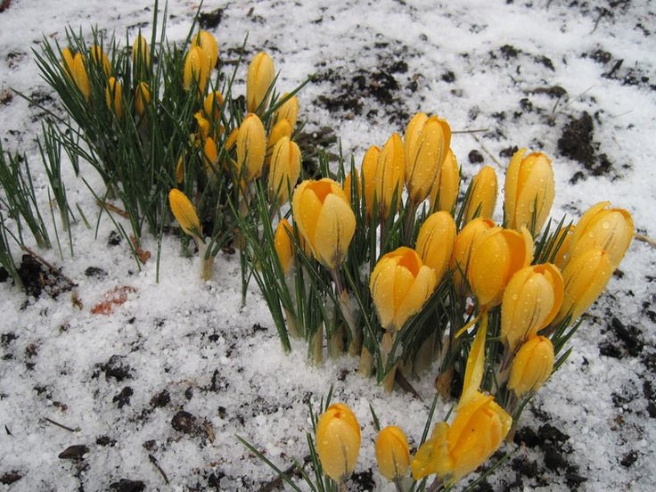 blooming under snow