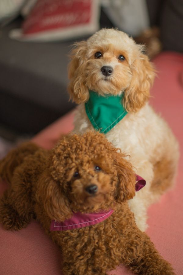 Piccolo And Manuka Have Been Wonderful Parents To Their Cavoodle