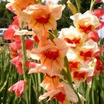 Overwintering bulbs in containers