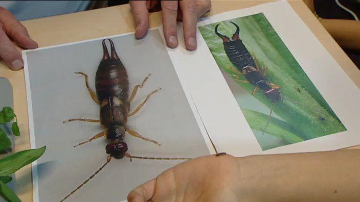 Oorwormen: in tegenstelling tot hun naam doet denken willen ze helemaal niet je oor in. Maar wat zijn dit voor insecten en waarom zijn ze zo handig?