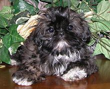 The Chinese Imperial Dog is a small breed of dog with a wrinkly, short-muzzled face, and curled tail. Kennel clubs originally classified the breed under the shih-tzu, before recognizing the Imperial as a separate breed