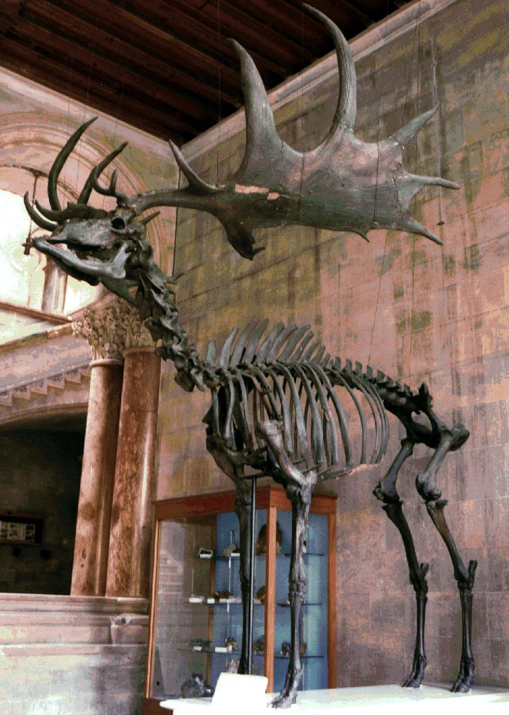 """""""The Irish Deer or Giant Deer was a species of Megaloceros and one of the largest deer that ever lived. Its range extended across Eurasia, from Ireland to east of Lake Baikal, during the Late Pleistocene. The latest known remains of the species have been carbon dated to about 7,700 years ago."""" More at the post. Text & image via vincentkhoo819 And, look at those vertebral spines in the upper thoracic region!  Must have been attachment site for some massive muscles."""