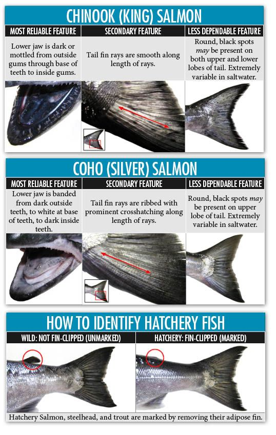 Chinook and coho salmon identification oregon for Where to buy oregon fishing license