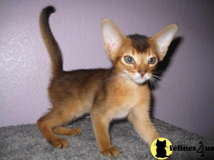 Abyssinian Kittens For Sale - Kittens