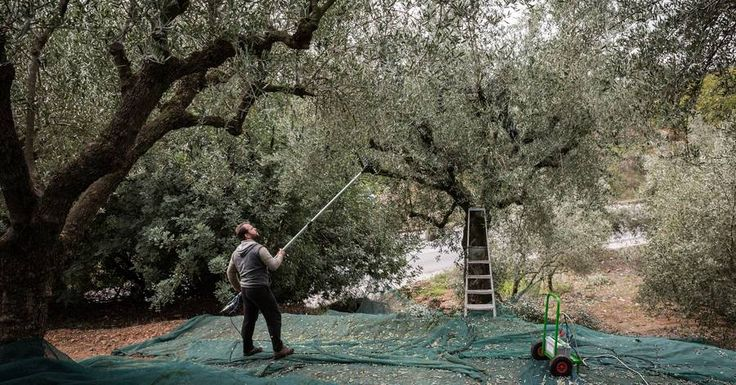 Greece's Olive Oil Industry Offers a Lesson on Economic Hurdles - WSJ