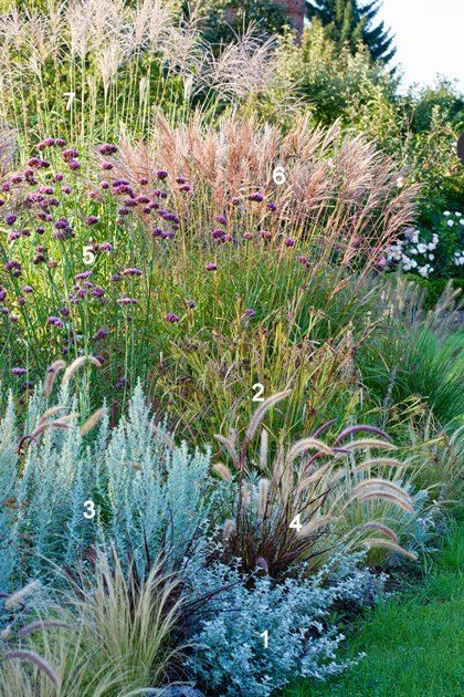 "Ornamental grasses border...1)-Mugwort (Artemisia ludoviciana) 'Silver Queen' 2) Morning Star Sedge (Carex grayi) 3) Curry Plant(Helichrysum italicum 4) Lamp Polishers Grass (Pennisetum viridescens) 5) Vervain(Verbena Bonariensis) 6) Miscanthus sinensis 'Adagio"" 7) Miscathus sinensis 'Silberfeder'..."