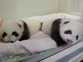 Zoo Atlanta Panda Twins