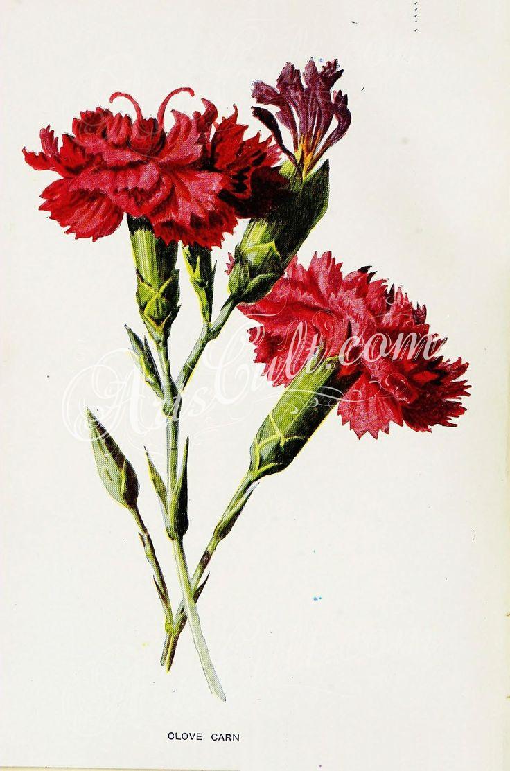 Best 25 dianthus caryophyllus ideas on pinterest carnation flowers 27782 clove carnation dianthus caryophyllus botanical floral botany natural naturalist nature flowers flower biocorpaavc