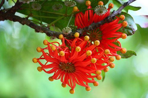 The amazing Queensland Firewheel Tree, Stenocarpus sinuatis.