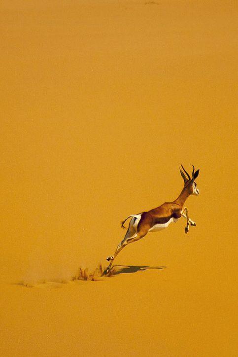 Springbok in desert, Angola