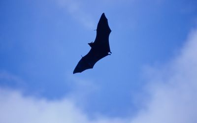 There is increasing evidence that bats are the origin of many coronaviruses which they pass on to an intermediate host, and then on to humans. http://ow.ly/nl8MY  Picture: THINKSTOCK