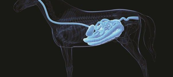 EGUS – equine gastric ulcer syndrome (as seen in July 2015 issue of The Rider) Horse Digestive System v1	  Let's save the boring stats that every article discussing equine gastric ulcers quotes.  If you keep your horse in a stall and/or do any level of training and you are still reading this article, there is an extremely high probability your horse has ulcers.  Why?  Murray (1994) demonstrated that alternating periods of feeding and withholding hay resulted in progressive erosion and…