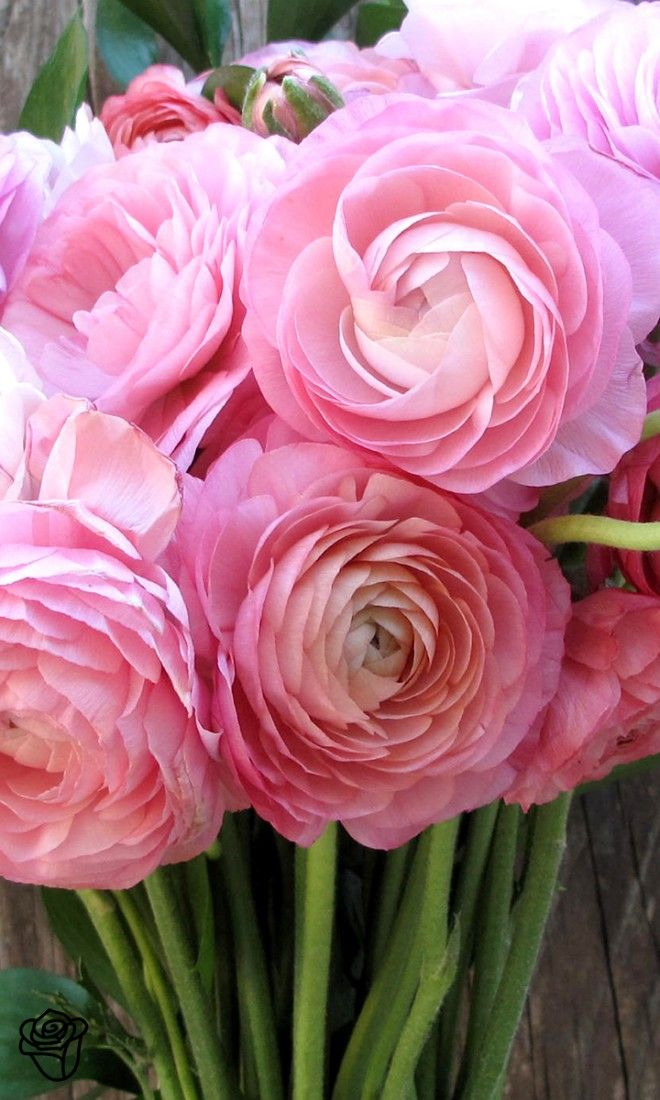 Brilliantly colored Ranunculus ~ prized for their highly ruffled flowers