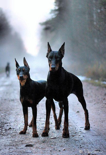 Dobermann, dogs, dog, mist